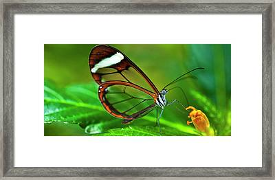 Framed Print featuring the photograph Glasswinged Butterfly by Ralph A Ledergerber