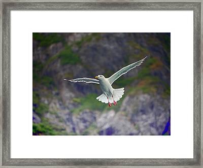 Glaucous-winged Gull Framed Print