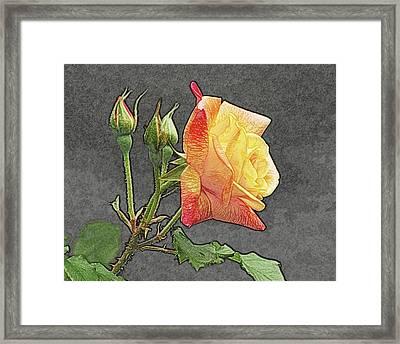 Glenn's Rose 2 Framed Print by Michael Peychich