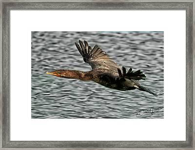 Gliding Cormorant Framed Print