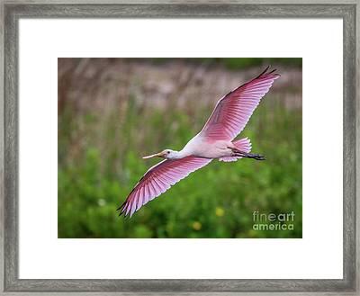 Gliding Spoonbill Framed Print