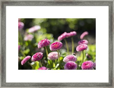Framed Print featuring the photograph Glittering Daisies by Helga Novelli