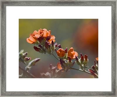 Globe Mallow Bloom Framed Print