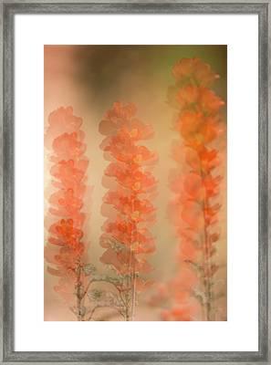 Globe Mallow Impressions Framed Print