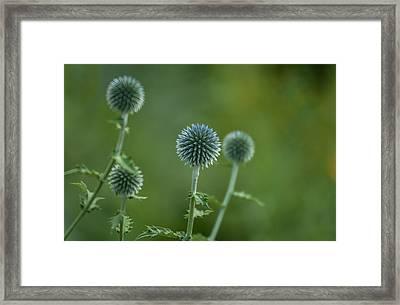 Globe Thistles Echinops Framed Print