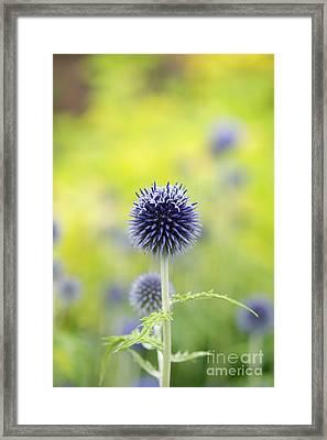 Globe Thistle Flowering Framed Print