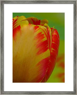 Globe Tulip Framed Print by Juergen Roth