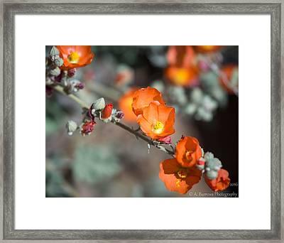 Globemallow Orange Framed Print