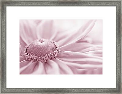 Gloriosa Daisy In Pink  Framed Print