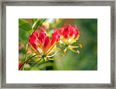 Gloriosa Flame Framed Print