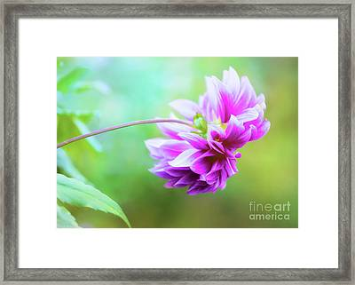 Glorious Autumn Dahlia Framed Print