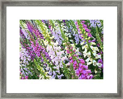 Glorious Foxgloves Framed Print by Carol Groenen