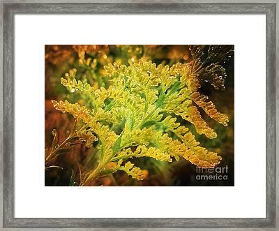 Glorious Goldenrod Framed Print