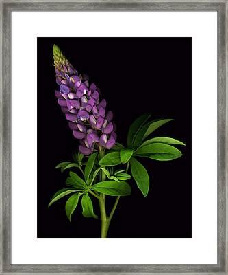 Glorious Purple Lupine Framed Print by Deborah J Humphries