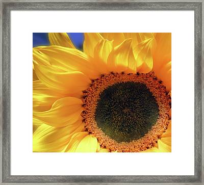 Glorious Sunflower Framed Print