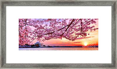 Glorious Sunset Over Cherry Tree At The Jefferson Memorial  Framed Print by Olivier Le Queinec