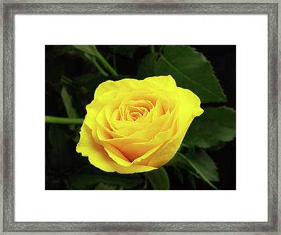 Glorious Yellow Rose Framed Print