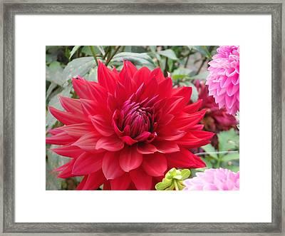 Glory Crimson Dahlia  Framed Print