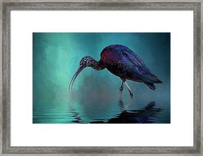 Glossy Ibis Looking For Breakfast Framed Print by Cyndy Doty