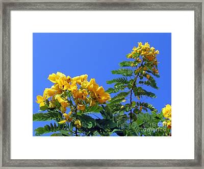 Glossy Shower Senna Tree Framed Print by Yali Shi