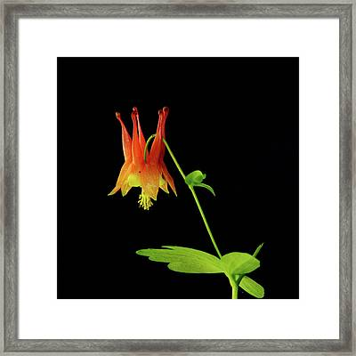Glowing Colombine Framed Print