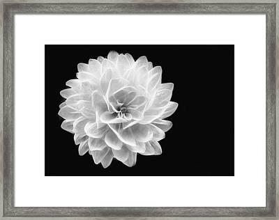 Glowing Dahlia Framed Print