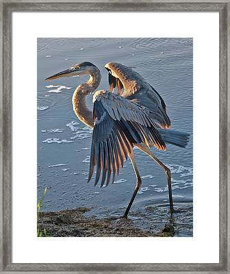 Glowing In The Sun - Heron Framed Print