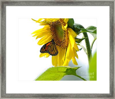 Glowing Monarch On Sunflower Framed Print
