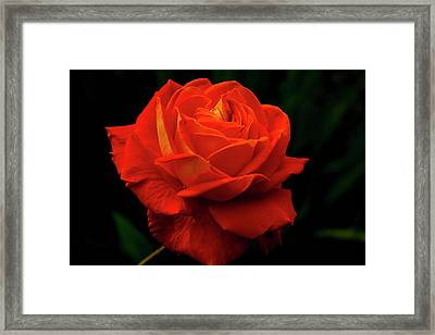 Glowing Orange Rose Framed Print