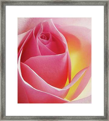 Glowing Pink Rose Framed Print