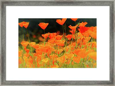 Glowing Poppies Framed Print