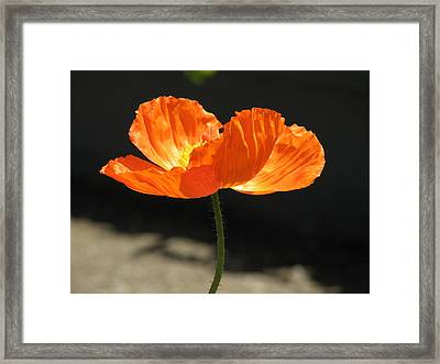 Glowing Poppy Framed Print by Helaine Cummins