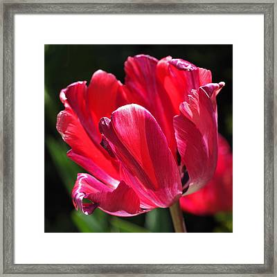 Glowing Red Tulip Framed Print