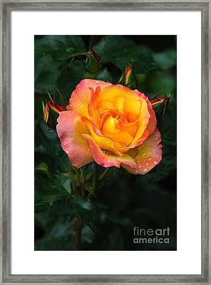 Glowing Rose Framed Print by Edward Sobuta