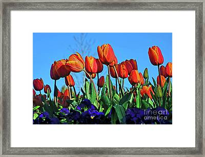 Glowing Tulips Against Blue Sky Framed Print