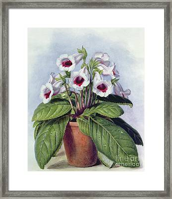 Gloxinia In A Pot Framed Print