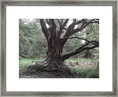 Gnarled Oak Framed Print by William Thomas