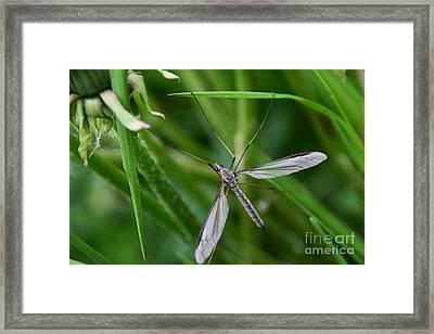 Gnat Framed Print