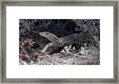 Goanna Framed Print by Bill  Robinson