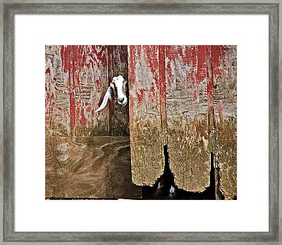 Goat And Old Barn Door Framed Print