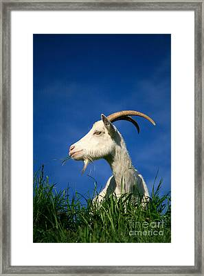 Goat Framed Print by Gaspar Avila