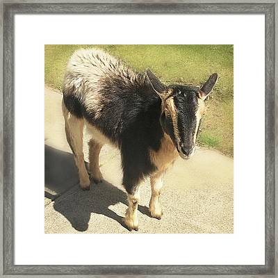 Goat Framed Print by Heather Applegate