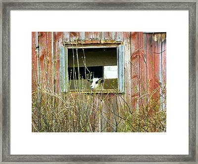Goat In The Window Framed Print by Donald C Morgan