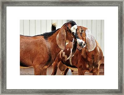Goat Secrets Framed Print