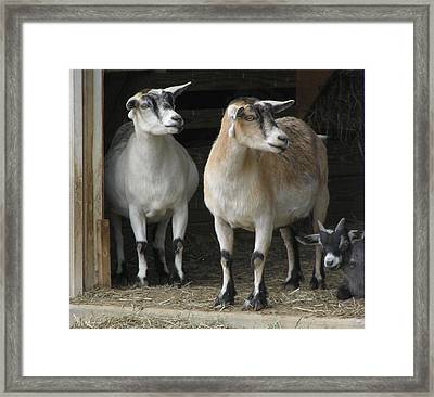 Framed Print featuring the photograph Goat Trio by Jeanette Oberholtzer