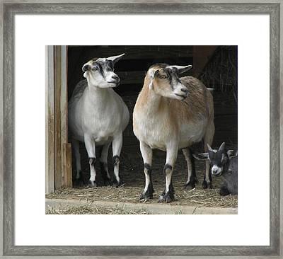 Goat Trio Framed Print by Jeanette Oberholtzer