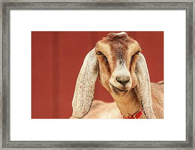 Goat With An Attitude Framed Print