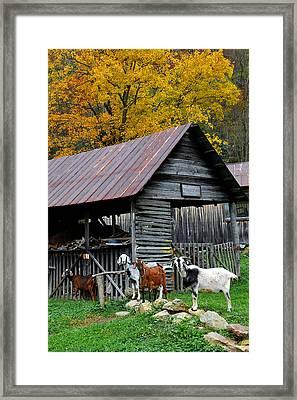 Goats At Rose Briar Farm Framed Print by Alan Lenk