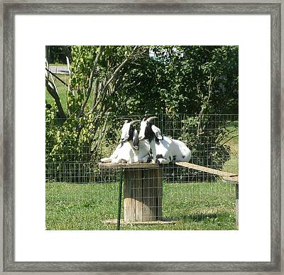 Goats Dreaming Of Trouble Framed Print by Jeanette Oberholtzer