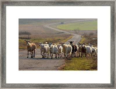 Goats Walking Home Framed Print
